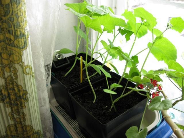 Кабачки выращивание в горшке 32